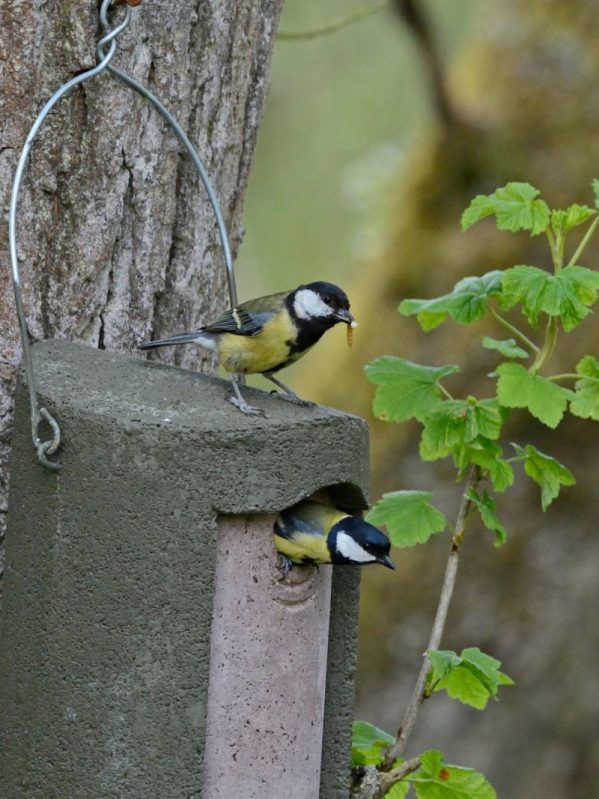 The Official. Woodcrete, green nest box, hanging from tree. Hole front with great tits feeding fledglings.