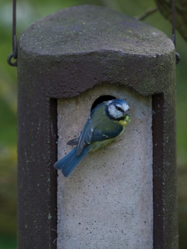 The Official, Woodcrete nest box, brown option. Hole front for tits, showing blue tit entering.