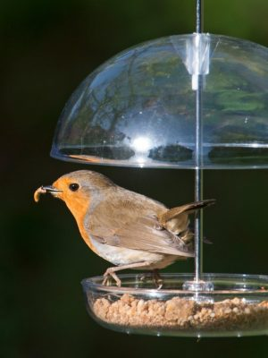 I Love Robins soft food. Robin eating from feeder .For soft billed birds.