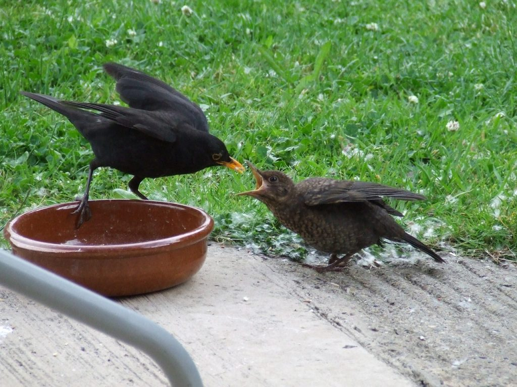 blackbird fledgling being fed by parent
