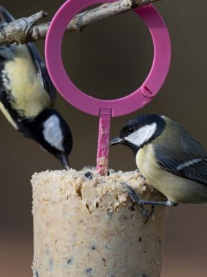 Great tits feeding from easy peasy feeder hanging in tree
