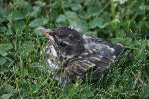 Fledgling sitting in grass