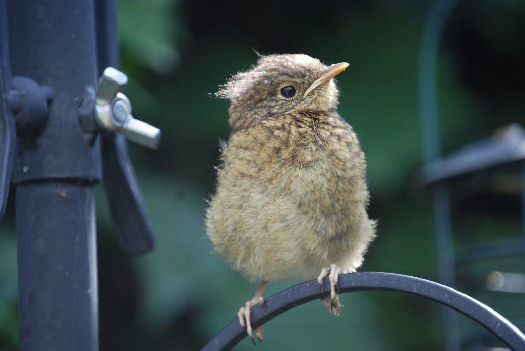 Robin fledgling sitting on bird feeder