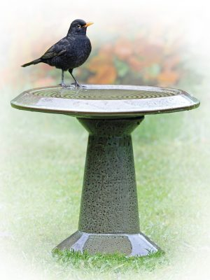 Blackbird sitting on inspira glazes birdbath