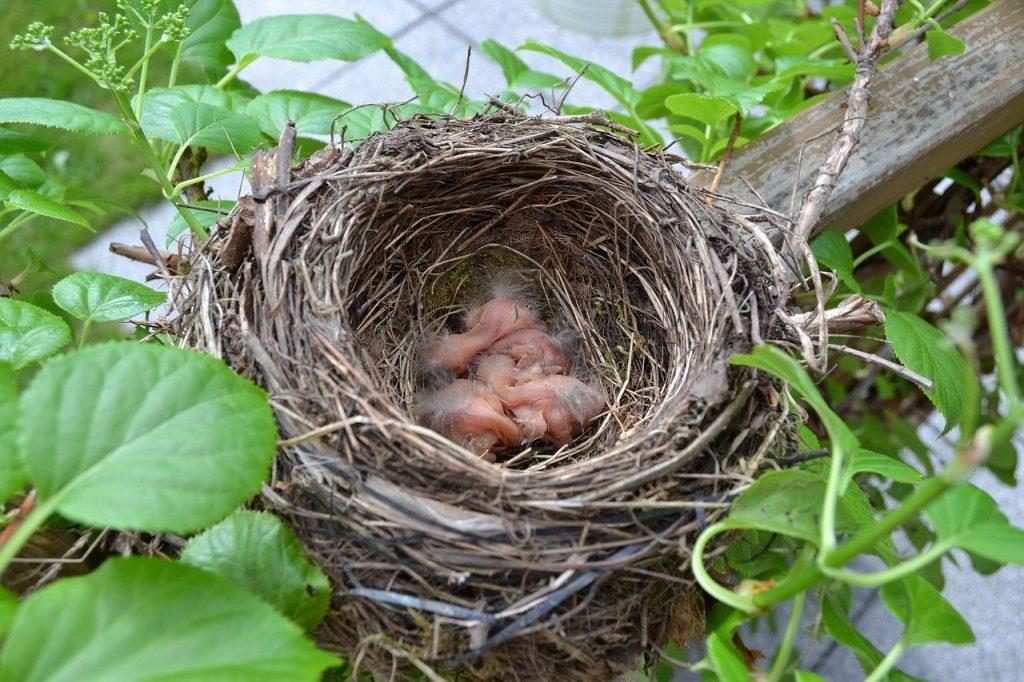 Nestlings in a nest