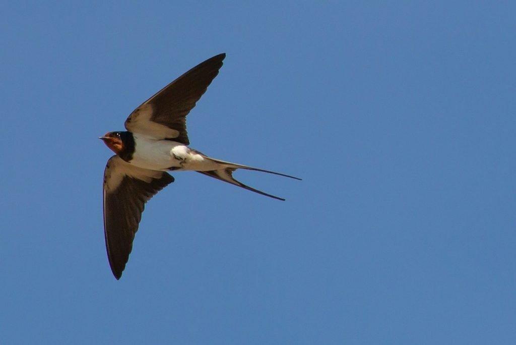 swallow flying in sky
