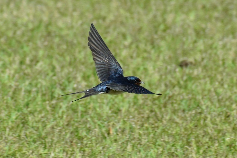 Swallow flying over grassland