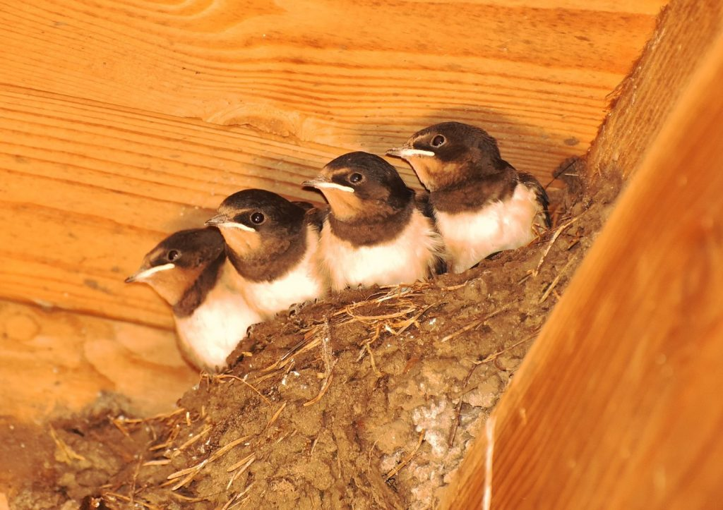 baby swallows in cup shaped nest