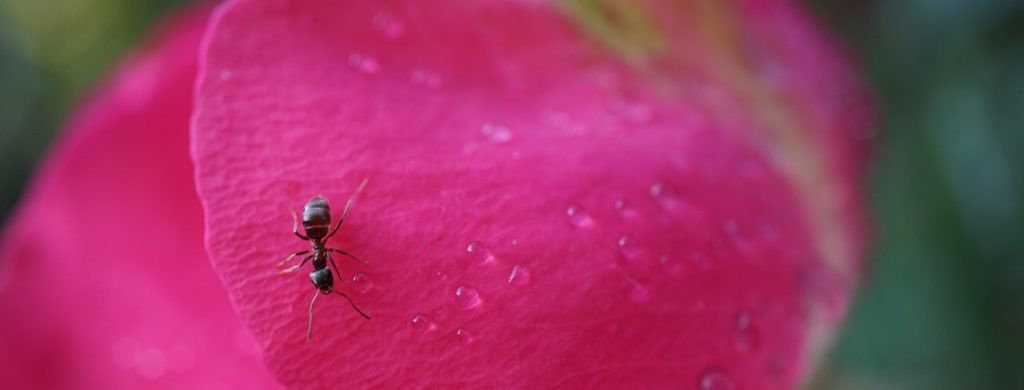 ant on a petal