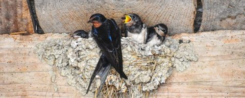 Swallow nest in roof